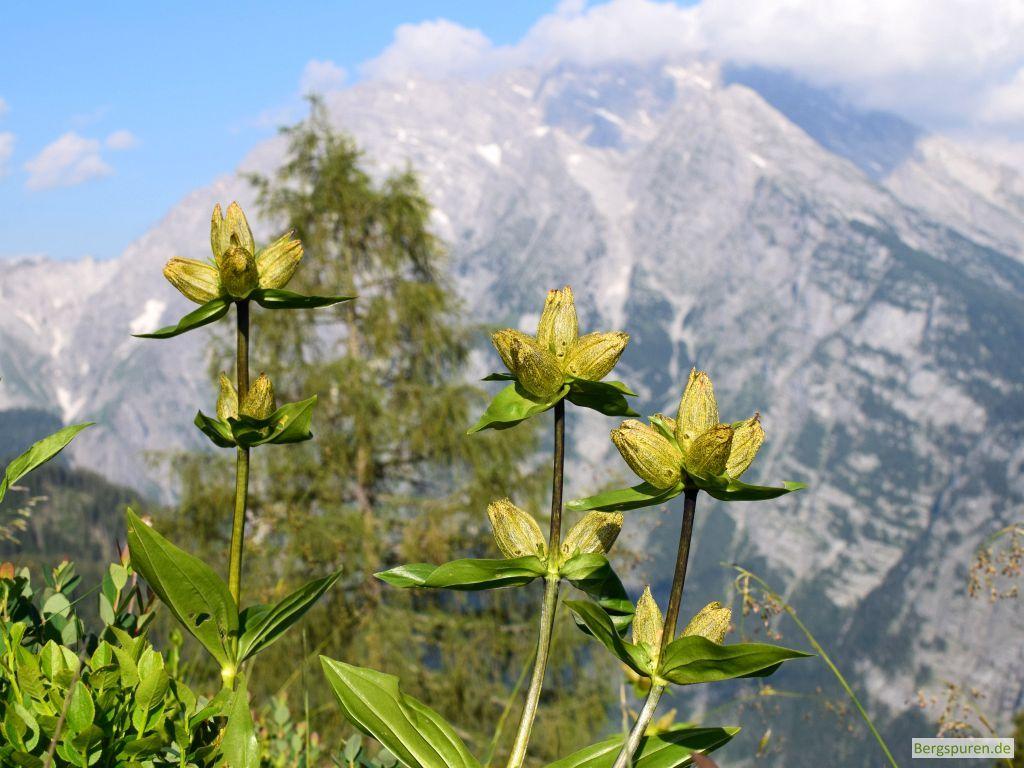 Punktierter Enzian (gentiana punctata) vor Watzmann