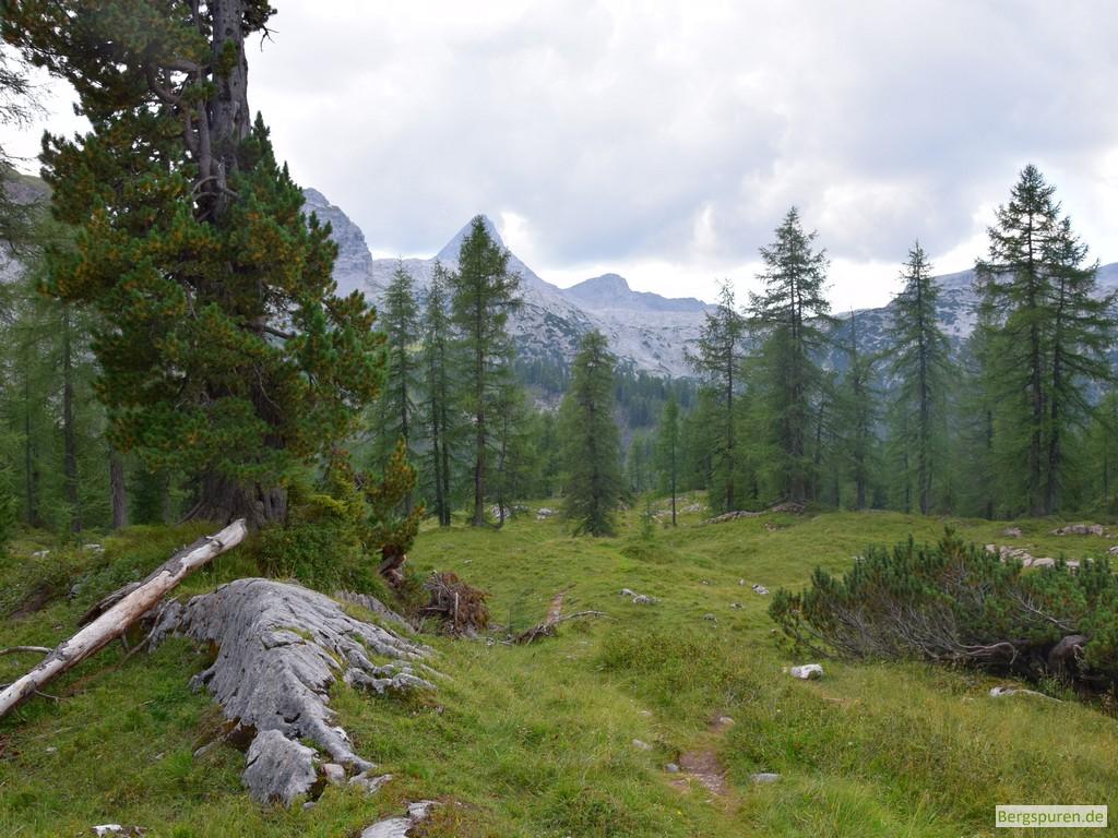 Bergwiese mit Zirbe am Feldkogel