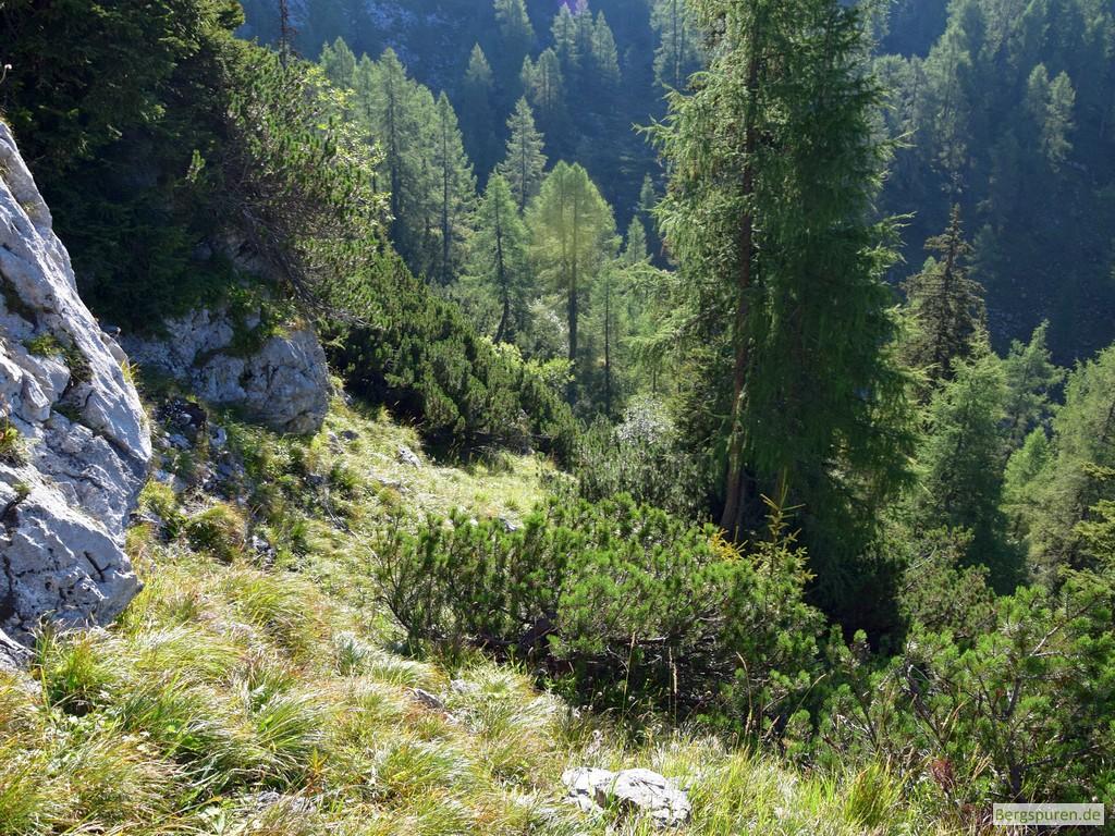 Latschen und Wald im Abstieg vom Gotzentauern