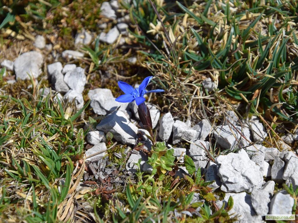 Rundblättriger Enzian (gentiana orbicularis) am Hinterbergkopf