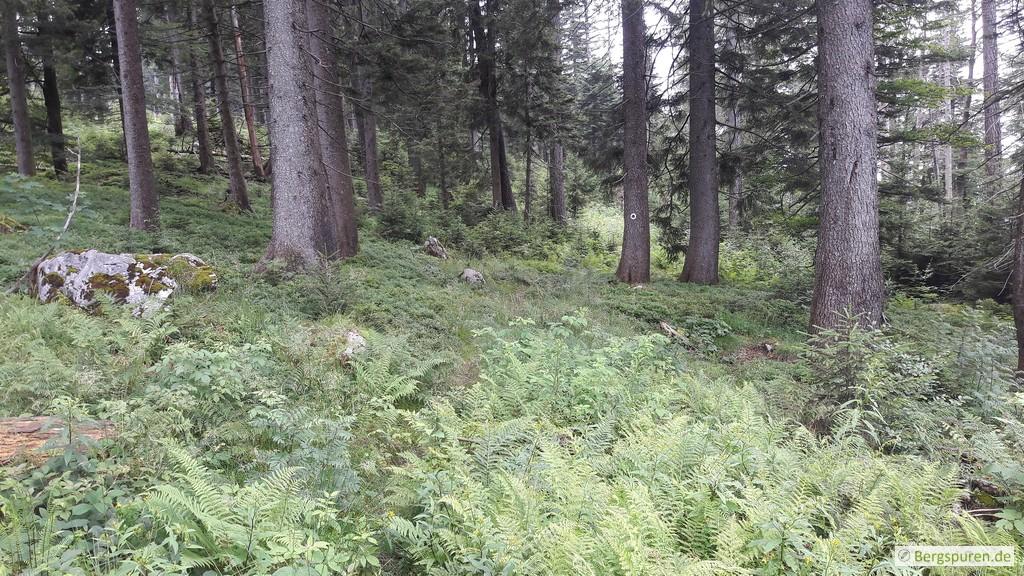 Koialuweisteig in lichtem Wald